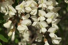 Flores dos locustídeo pretos Fotografia de Stock Royalty Free