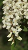 Flores dos locustídeo pretos Imagens de Stock Royalty Free