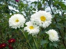 Flores dos Mums brancas Fotografia de Stock