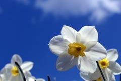 Flores dos narcisos amarelos imagem de stock royalty free