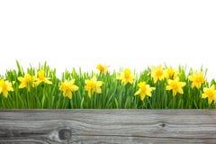Flores dos narcisos amarelos da mola Foto de Stock Royalty Free