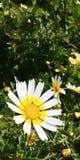 Flores dos perennis do Bellis Fotografia de Stock Royalty Free