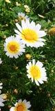 Flores dos perennis do Bellis Imagem de Stock