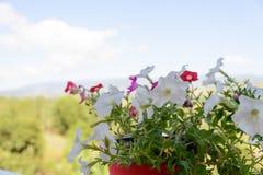 Flores dos petúnias na decoração plástica do vaso de flores no terraço imagens de stock