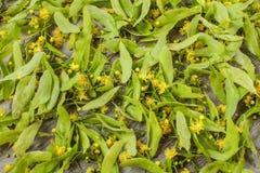Flores dos platyphyllos de Linden Tilia que estão sendo secadas para a tisana Imagem de Stock Royalty Free