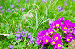 Flores dos Primulas Fotos de Stock