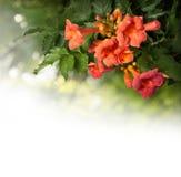 Flores dos radicans de Campsis isoladas no fundo branco Fotos de Stock Royalty Free