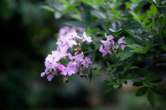 Flores dos roxos Foto de Stock