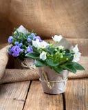 Flores dos Saintpaulias no empacotamento de papel Fotografia de Stock Royalty Free