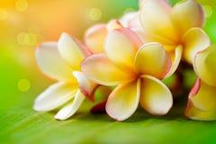 Flores dos termas do Frangipani Fotos de Stock