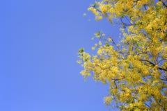 Flores douradas coloridas do chuveiro ou do ratchaphruek que florescem sobre fotos de stock royalty free