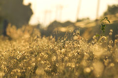 Flores douradas da grama foto de stock