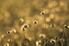 Flores douradas da grama imagem de stock