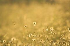 Flores douradas da grama imagens de stock
