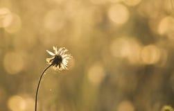 Flores douradas da grama fotografia de stock
