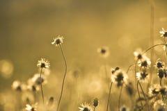 Flores douradas da grama foto de stock royalty free