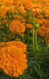 Flores douradas do marigold Imagem de Stock Royalty Free