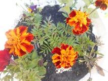 Flores douradas dos cravos-de-defunto imagem de stock royalty free