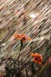 Flores durante uma chuva do verão Imagem de Stock