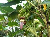 Flores e árvore da banana Imagens de Stock Royalty Free