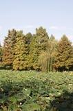 Flores e árvores de Lotus Fotografia de Stock
