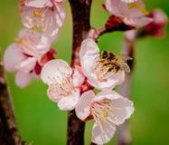 Flores e abelha Imagem de Stock Royalty Free