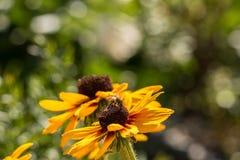 Flores e abelha amarelas Imagens de Stock Royalty Free