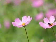 Flores e abelha do cosmos video estoque