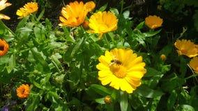 Flores e abelhas brilhantes de setembro Fotografia de Stock