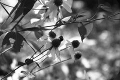 Flores e abelhas no estilo preto e branco Fotografia de Stock Royalty Free