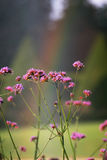 Flores e arco-íris Fotos de Stock