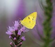 Flores e borboletas Imagem de Stock