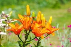 Flores e botões alaranjados do lírio no jardim contra o fundo verde borrado em um dia ensolarado Foto de Stock Royalty Free