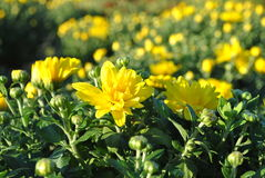 Flores e botões amarelos Imagens de Stock