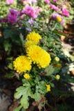 Flores e botões amarelos do crisântemo imagens de stock royalty free