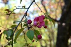 Flores e botões cor-de-rosa bonitos da árvore de maçã decorativa Foto de Stock Royalty Free