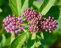 Flores e botões cor-de-rosa da planta comum do milkweed Imagens de Stock