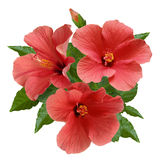 Flores e botões cor-de-rosa do hibiscus Fotos de Stock Royalty Free