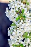 Flores e botões da árvore de cereja Fotos de Stock Royalty Free
