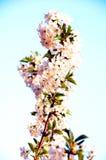 Flores e botões da árvore de cereja Fotografia de Stock Royalty Free
