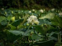 Flores e botões de Lotus na lagoa fotos de stock