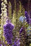 Flores e botões decorativos do jardim Fotografia de Stock