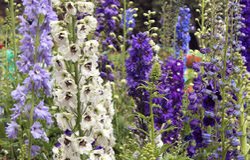 Flores e botões decorativos do jardim Fotos de Stock