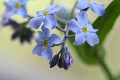 Flores e botões do miosótis no fundo verde bluring do chá Foto de Stock Royalty Free