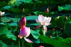 Flores e botões do nucifera do Nelumbo Fotografia de Stock Royalty Free