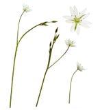 Flores e botões do Stellaria Imagem de Stock
