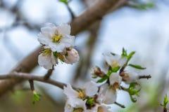 Flores e botões em um ramo da árvore de amêndoa contra o céu Foto de Stock Royalty Free