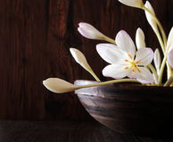Flores e botões frágeis de Autumn Crocus Fotografia de Stock
