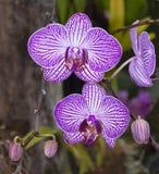 Flores e botões listrados roxos da orquídea fotografia de stock
