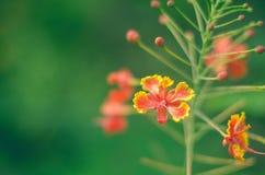 Flores e botões reais vermelhos de Poinciana Fotos de Stock Royalty Free
